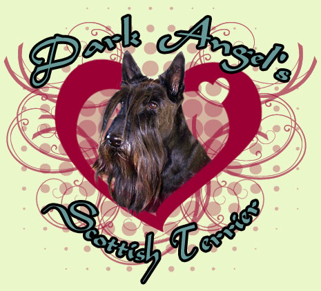 Dark Angel`s Scottish-Terrier